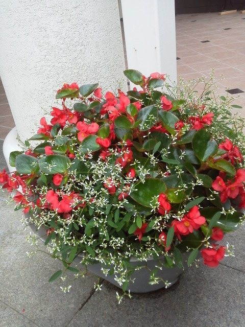 ベゴニアビッグ×ユーフォルビア マンデビライエロー×セロシア   元気で活きの良い植物専門店ブロ